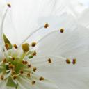 fleurpommier