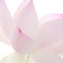 lotusblanc